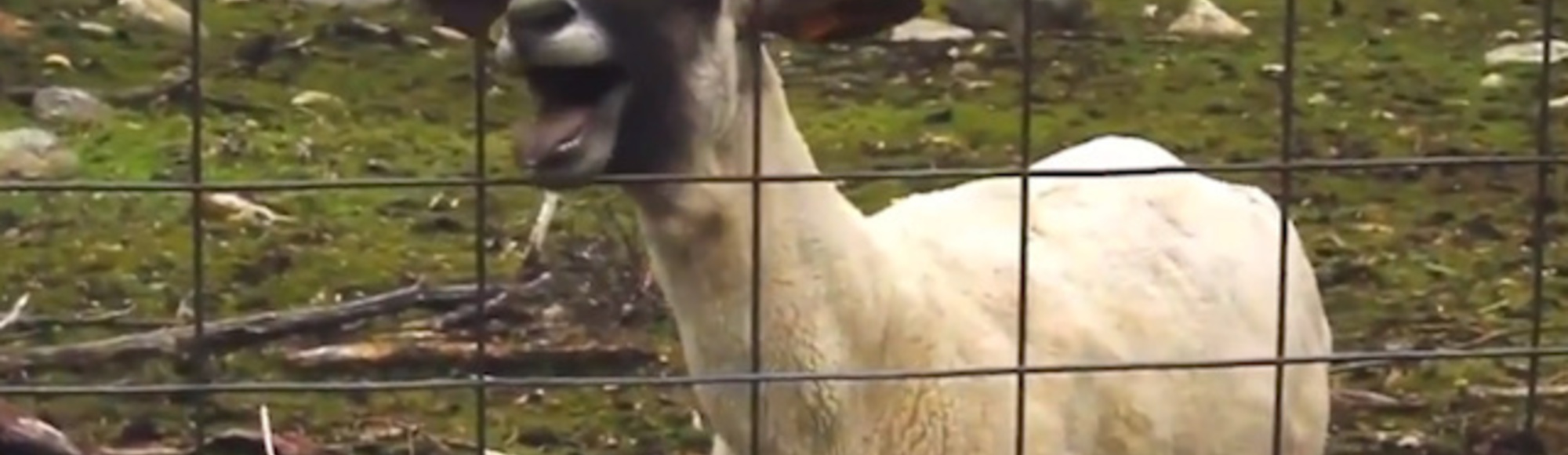 The Ten Best (and Worst) Goat Music Video Mashups