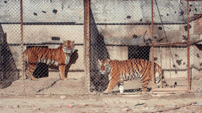 In China, Tigers Are Being Farmed Like Chickens