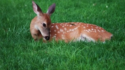 End the War on Baby Deer