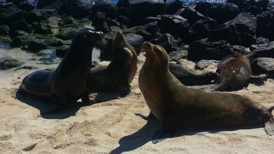 Endangered Galapagos Sea Lions Are Threatened by Dog Diseases