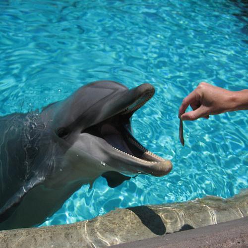 dolphins pearl mafia