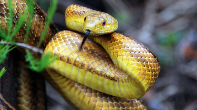 Did Mammals Evolve Snake Eyes?