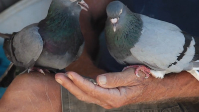The Pigeon Lovers of Athens