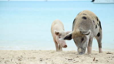 The Mysterious Beach Pigs Of Big Major Cay