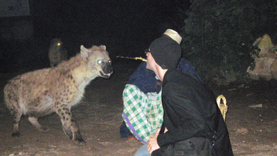 Hyenas in Ethiopia Will Eat Out of Your Mouth