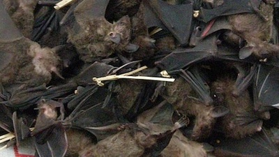 Guinea Bans Bat Meat to Stop the Spread of Ebola