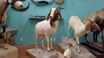 A Visit to Torah Animal World, the Largest Hasidic Taxidermy Museum on Earth