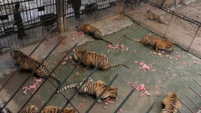 Eating Tiger Penis Is Now Illegal in China