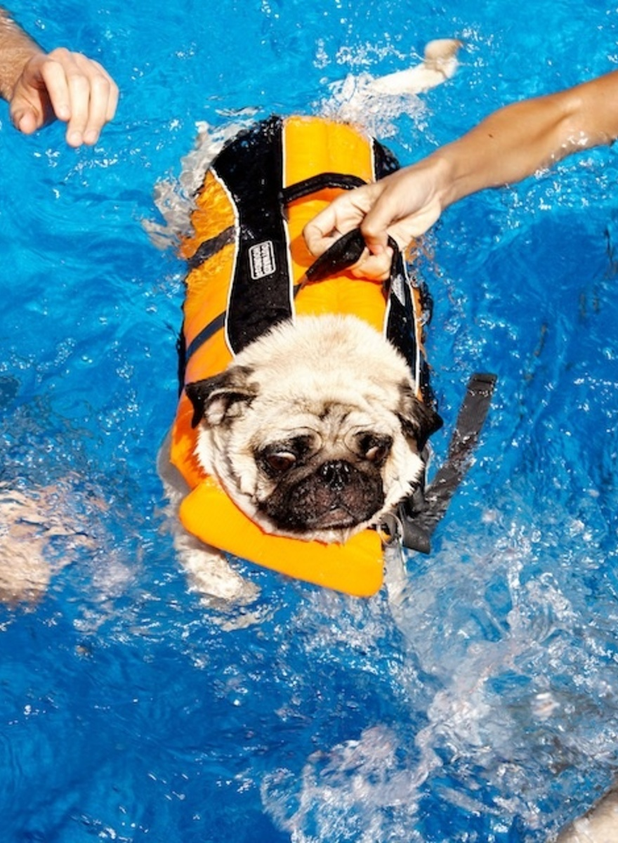 I Attended a Pug Pool Party in Staten Island