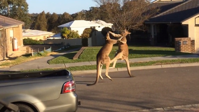 Breaking Down the Kangaroo Street Fight of the Century
