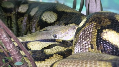 The World's Largest Snake Doesn't Need Males to Breed