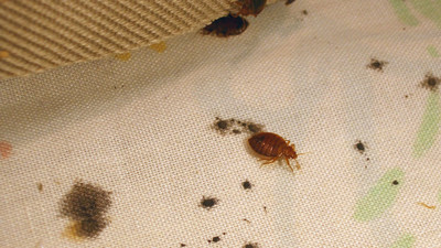 Science Has Finally Outsmarted Bedbugs (We Hope)
