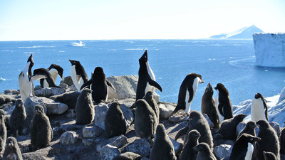 Is Antarctic Ecotourism Killing Penguins?