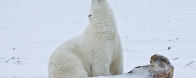 Pollution Is Damaging Polar Bears' Dicks