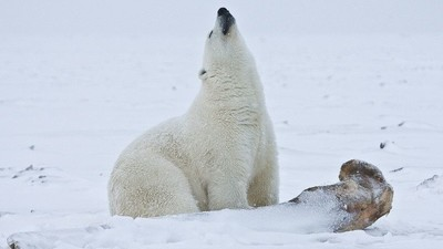 Pollution Is Making Polar Bears' Dicks Snap in Half According to Danish Research