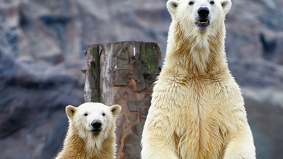 Les ours polaires se fracturent le pénis à cause de la pollution industrielle