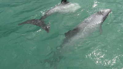 The New Zealand Government Wants to Allow Drilling for Oil in a Dolphin Habitat