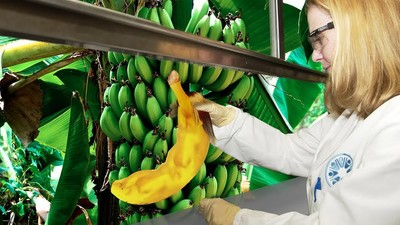 Northern Territory Scientists Are Making the Banana Australians Deserve