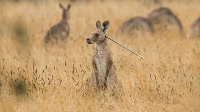 A Crossbow Enthusiast Is on a Suburban Kangaroo Killing Spree