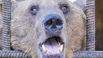 Activists Want to Send These Alcoholic Russian Bears to Rehab in Romania