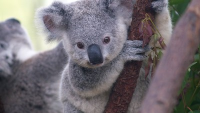 Victoria's 'Secret Koala Cull' Was a Sad Consequence of Conservation