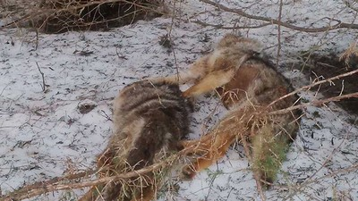 Someone in Ontario Is Decapitating Coyotes and Leaving Their Corpses on Hiking Trails