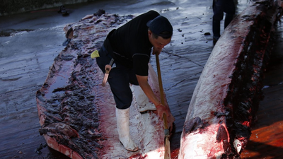 Japan Is Going to Kill Thousands of Whales No Matter What Other Nations Say