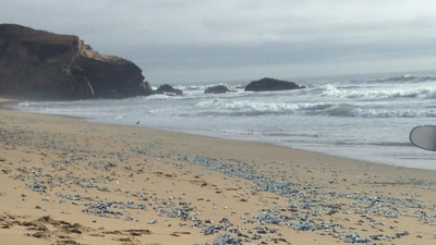 Why Are These Weird Blue Jellyfish Washing Up on Oregon's Beaches?