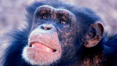 (UPDATED) Two Chimps Just Had Their Personhood Recognized by a New York Judge