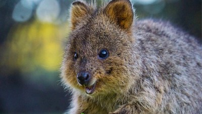 Western Australian Is Cracking Down on Assholes Who Hurt Quokkas