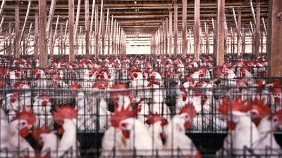 5 Million Chickens Are About to Be Killed to Prevent the Spread of Avian Flu