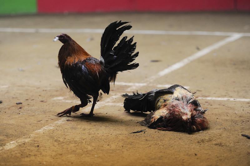 Gays chupando fotos de gallos