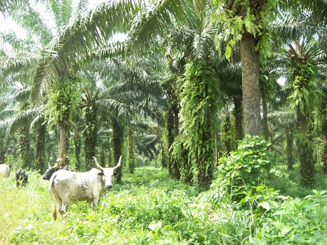 Palm Plantations in the Eastern Region.