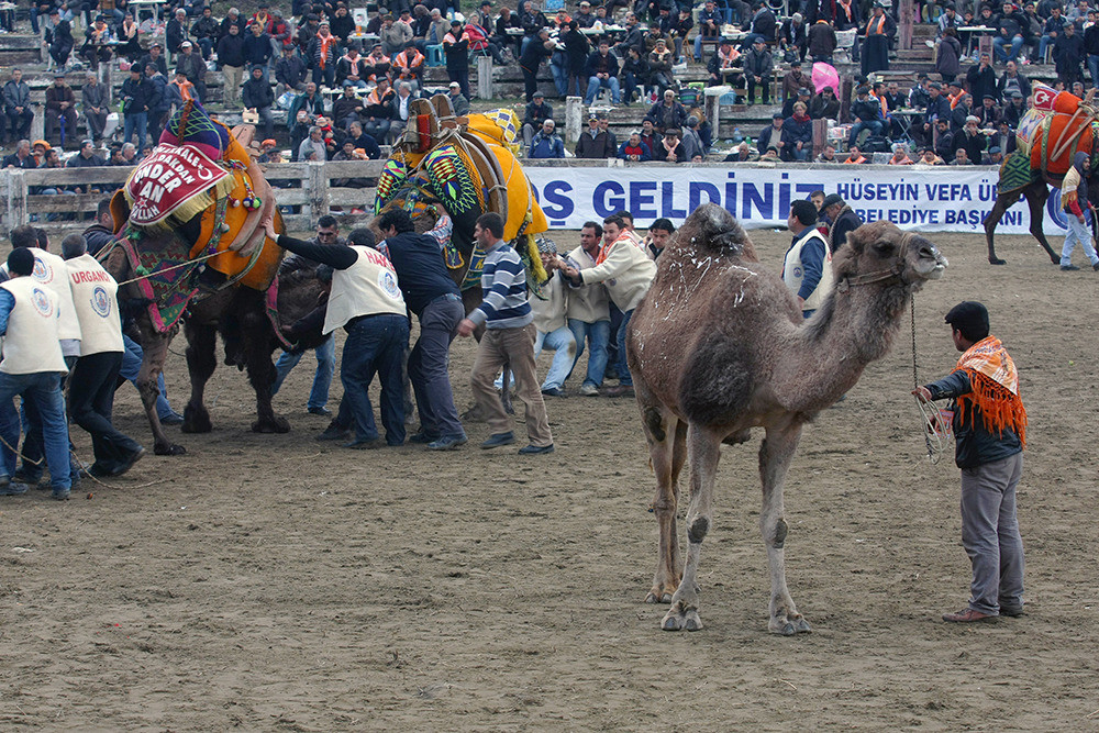 Once the fight begins, the lady camel nonchalantly walks away from the commotion she started and probably fucks some asshole with a  gigantic hump who doesn't treat her right.