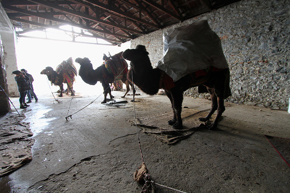 Camels are kept in stables the day before the match.