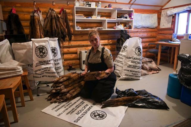 Wildlife Officer, Marti Lys, inspects, tags and bags pelts that will be sent to auctions in Seattle and North Bay, Ontario.